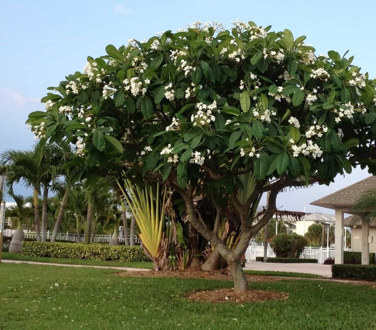 شجرة الياسمين الهندي