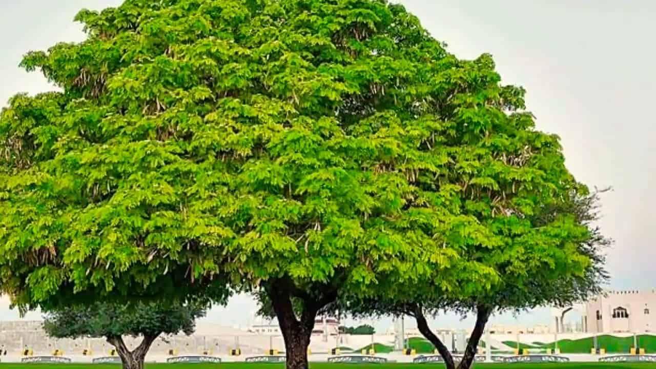 فوائد شجرة النيم للسكر